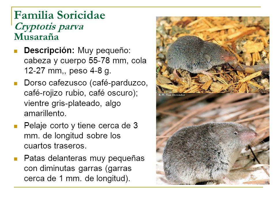 Familia Soricidae Cryptotis parva Musaraña Descripción: Muy pequeño: cabeza y cuerpo 55-78 mm, cola 12-27 mm,, peso 4-8 g. Dorso cafezusco (café-pardu
