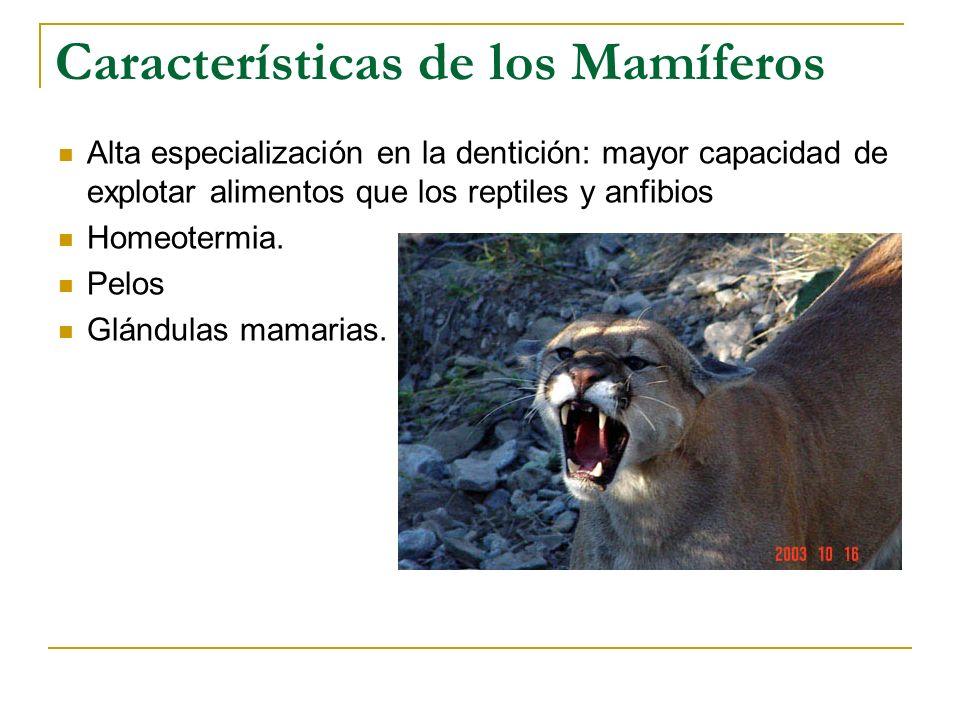 Características de los Mamíferos Alta especialización en la dentición: mayor capacidad de explotar alimentos que los reptiles y anfibios Homeotermia.