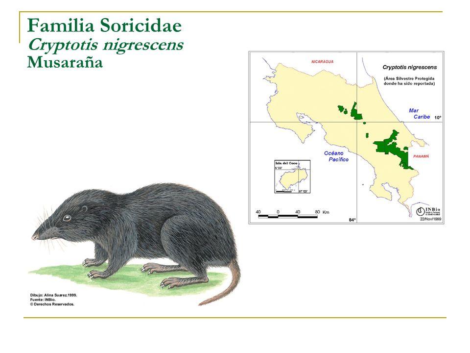 Familia Soricidae Cryptotis nigrescens Musaraña