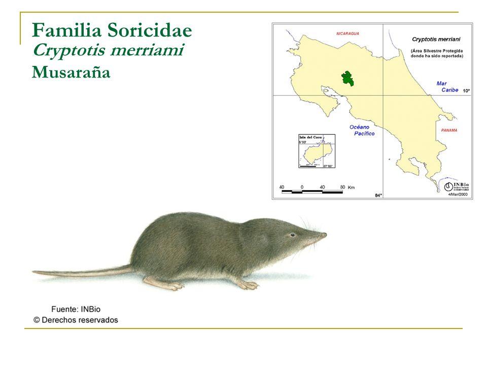 Familia Soricidae Cryptotis merriami Musaraña