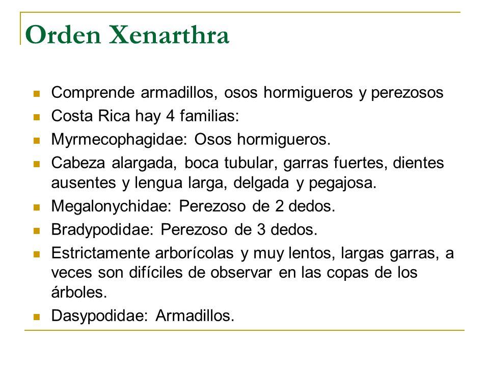 Orden Xenarthra Comprende armadillos, osos hormigueros y perezosos Costa Rica hay 4 familias: Myrmecophagidae: Osos hormigueros. Cabeza alargada, boca