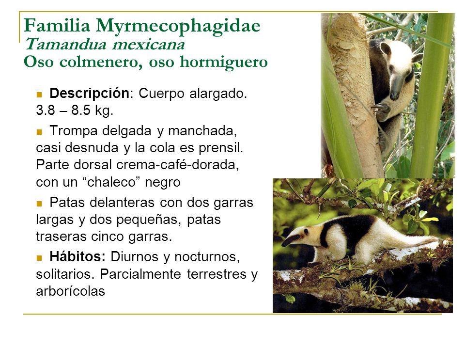 Familia Myrmecophagidae Tamandua mexicana Oso colmenero, oso hormiguero Descripción: Cuerpo alargado. 3.8 – 8.5 kg. Trompa delgada y manchada, casi de