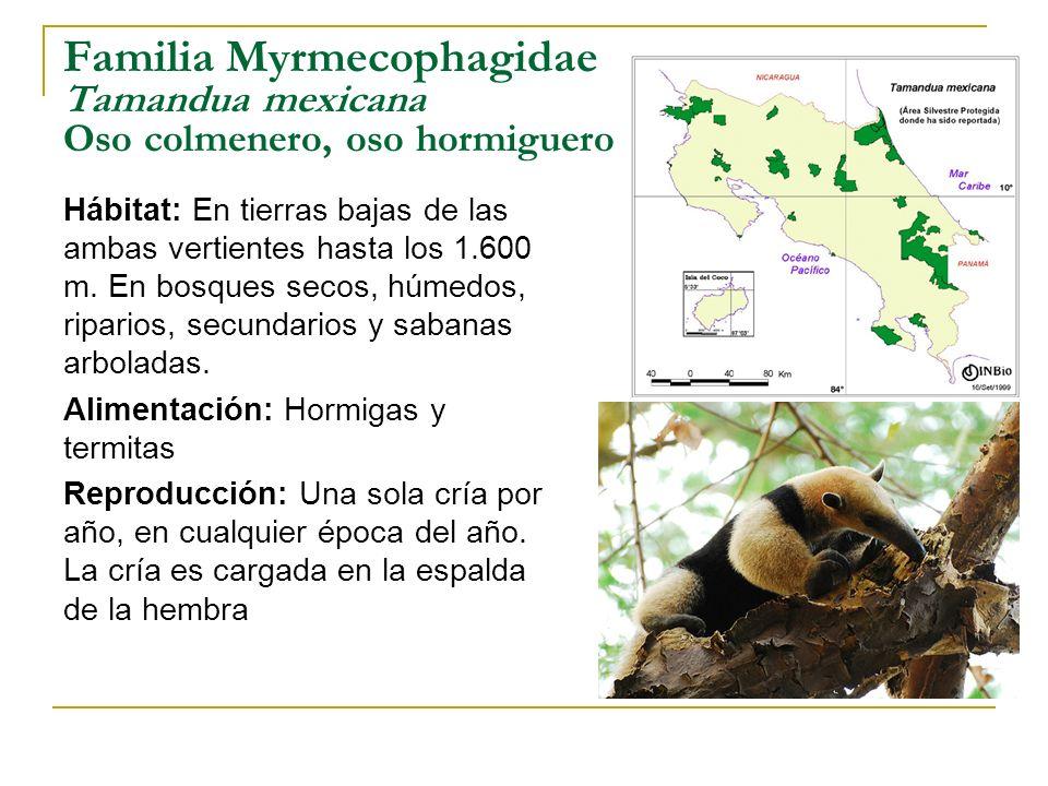 Familia Myrmecophagidae Tamandua mexicana Oso colmenero, oso hormiguero Hábitat: En tierras bajas de las ambas vertientes hasta los 1.600 m. En bosque