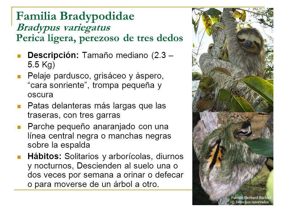 Familia Bradypodidae Bradypus variegatus Perica ligera, perezoso de tres dedos Descripción: Tamaño mediano (2.3 – 5.5 Kg) Pelaje pardusco, grisáceo y