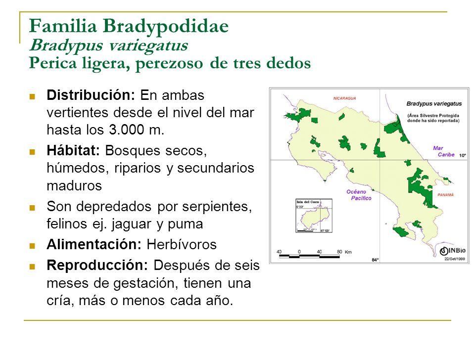 Familia Bradypodidae Bradypus variegatus Perica ligera, perezoso de tres dedos Distribución: En ambas vertientes desde el nivel del mar hasta los 3.00