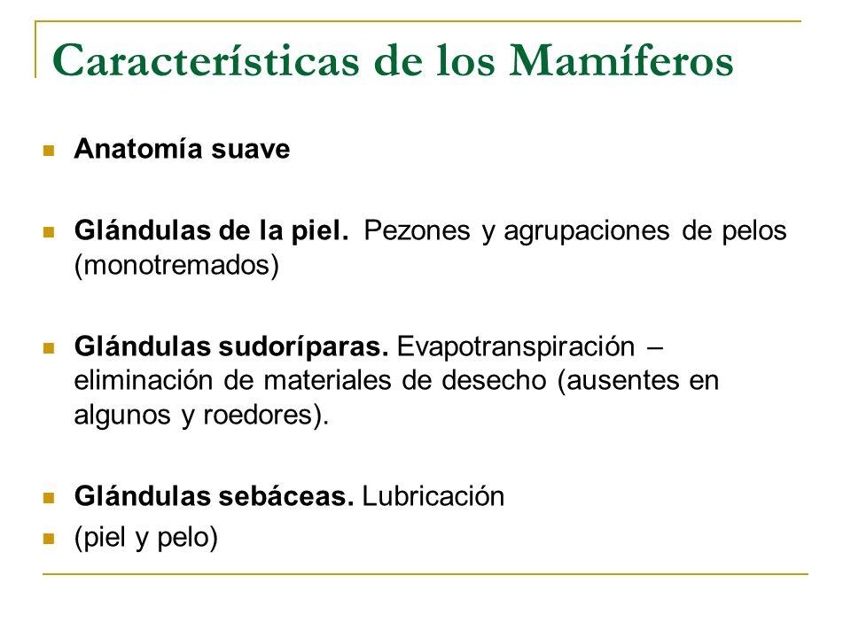 Características de los Mamíferos Anatomía suave Glándulas de la piel. Pezones y agrupaciones de pelos (monotremados) Glándulas sudoríparas. Evapotrans
