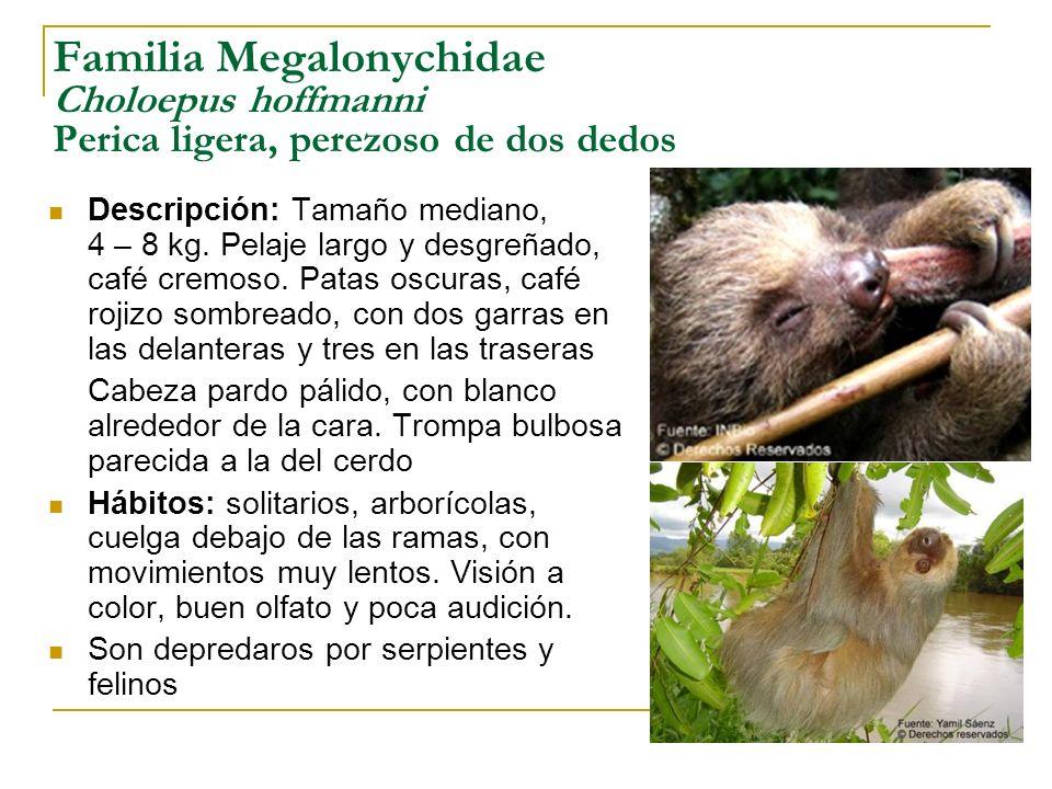 Familia Megalonychidae Choloepus hoffmanni Perica ligera, perezoso de dos dedos Descripción: Tamaño mediano, 4 – 8 kg. Pelaje largo y desgreñado, café