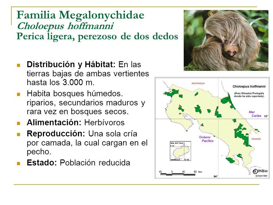 Familia Megalonychidae Choloepus hoffmanni Perica ligera, perezoso de dos dedos Distribución y Hábitat: En las tierras bajas de ambas vertientes hasta
