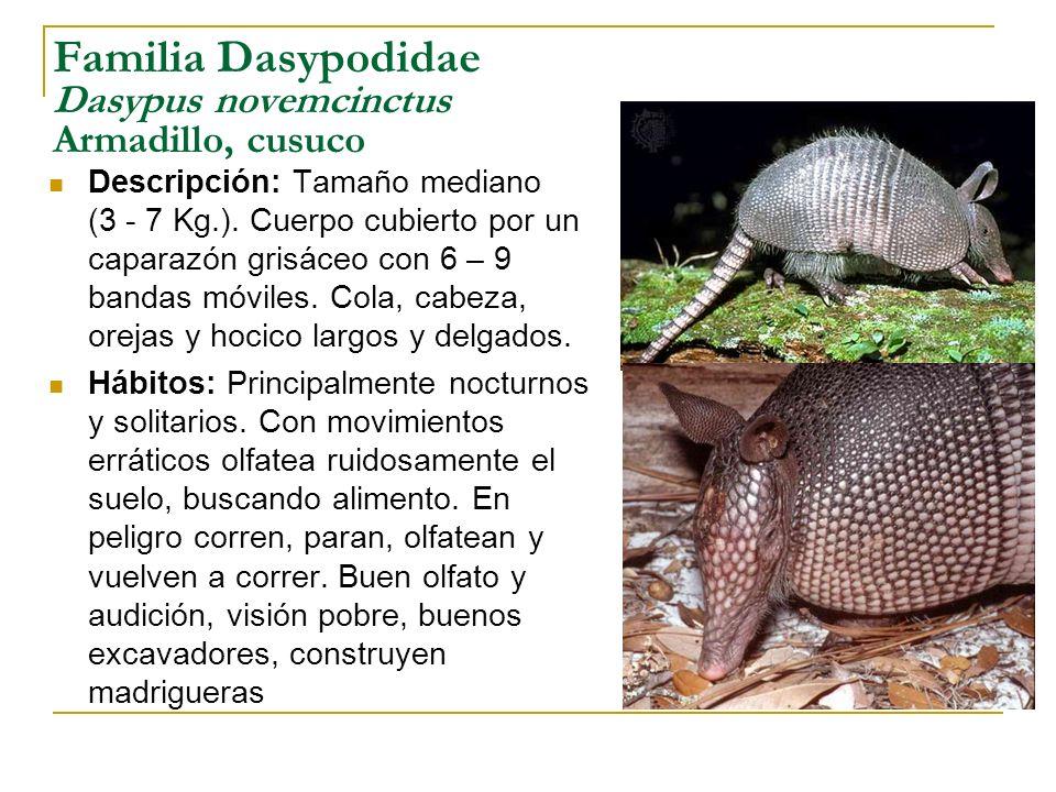 Familia Dasypodidae Dasypus novemcinctus Armadillo, cusuco Descripción: Tamaño mediano (3 - 7 Kg.). Cuerpo cubierto por un caparazón grisáceo con 6 –