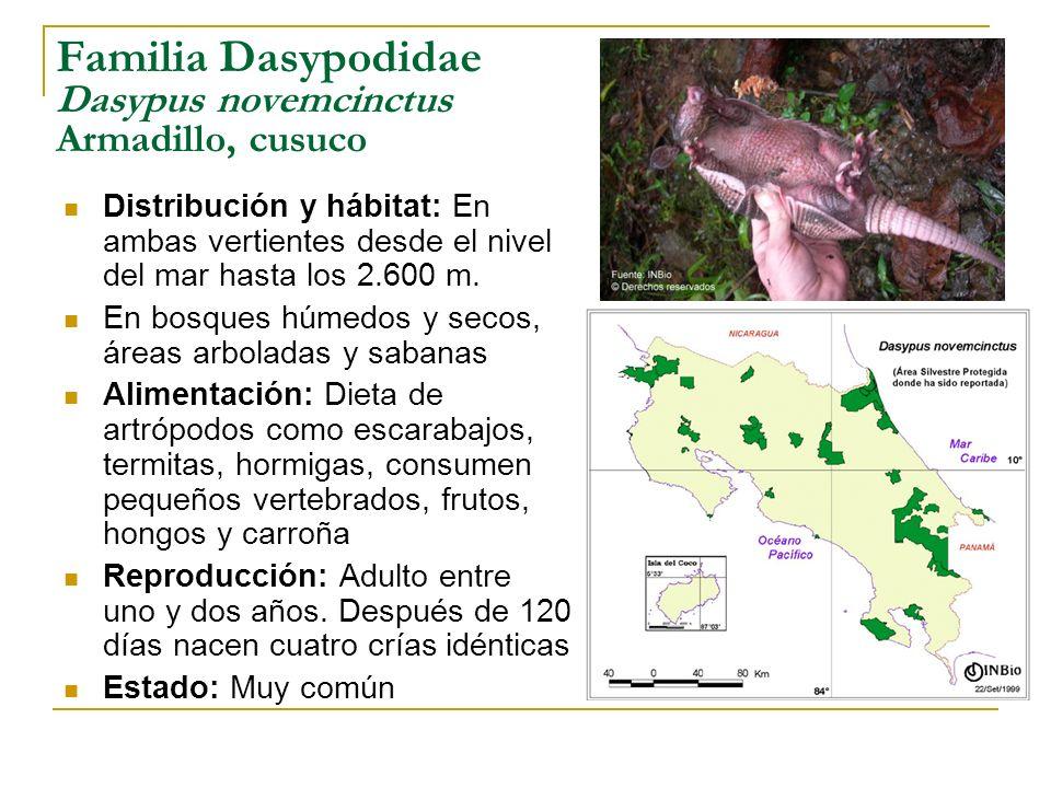 Familia Dasypodidae Dasypus novemcinctus Armadillo, cusuco Distribución y hábitat: En ambas vertientes desde el nivel del mar hasta los 2.600 m. En bo