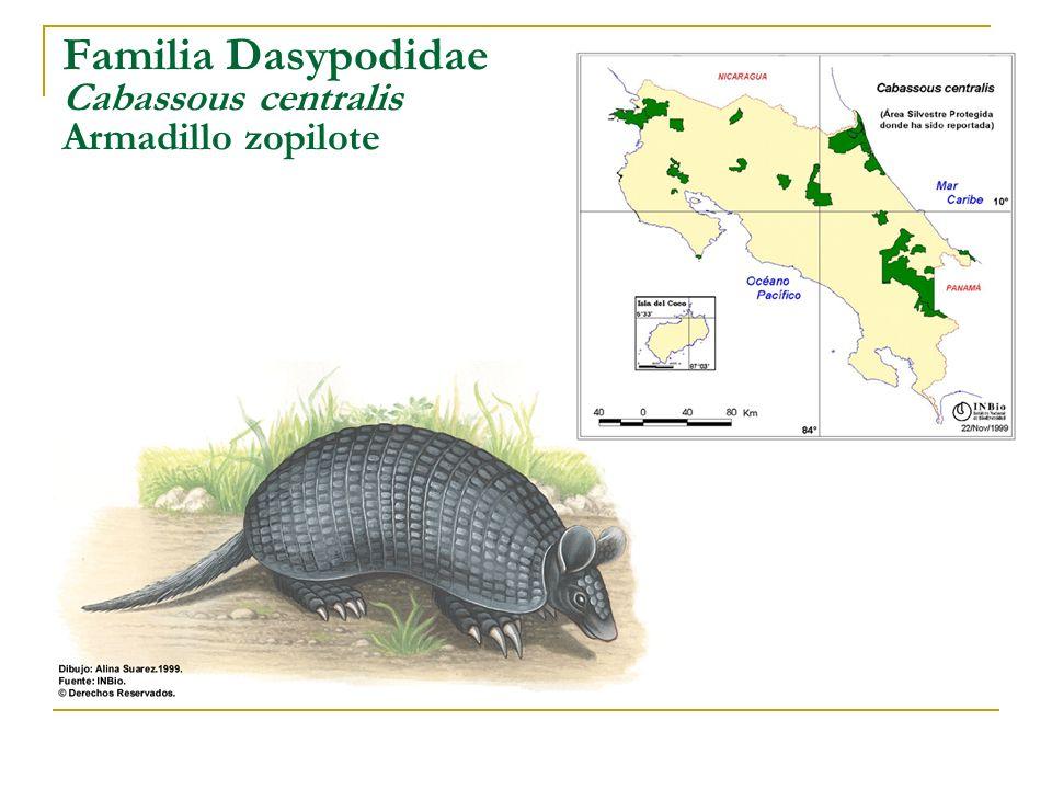 Familia Dasypodidae Cabassous centralis Armadillo zopilote