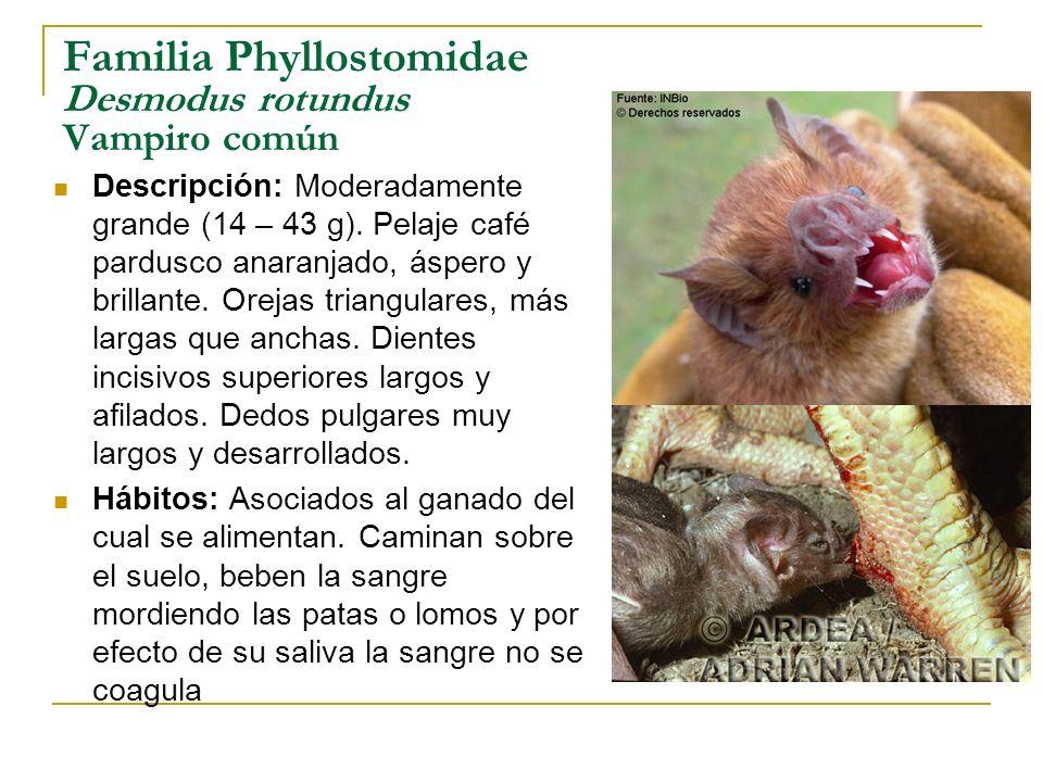 Familia Phyllostomidae Desmodus rotundus Vampiro común Descripción: Moderadamente grande (14 – 43 g). Pelaje café pardusco anaranjado, áspero y brilla