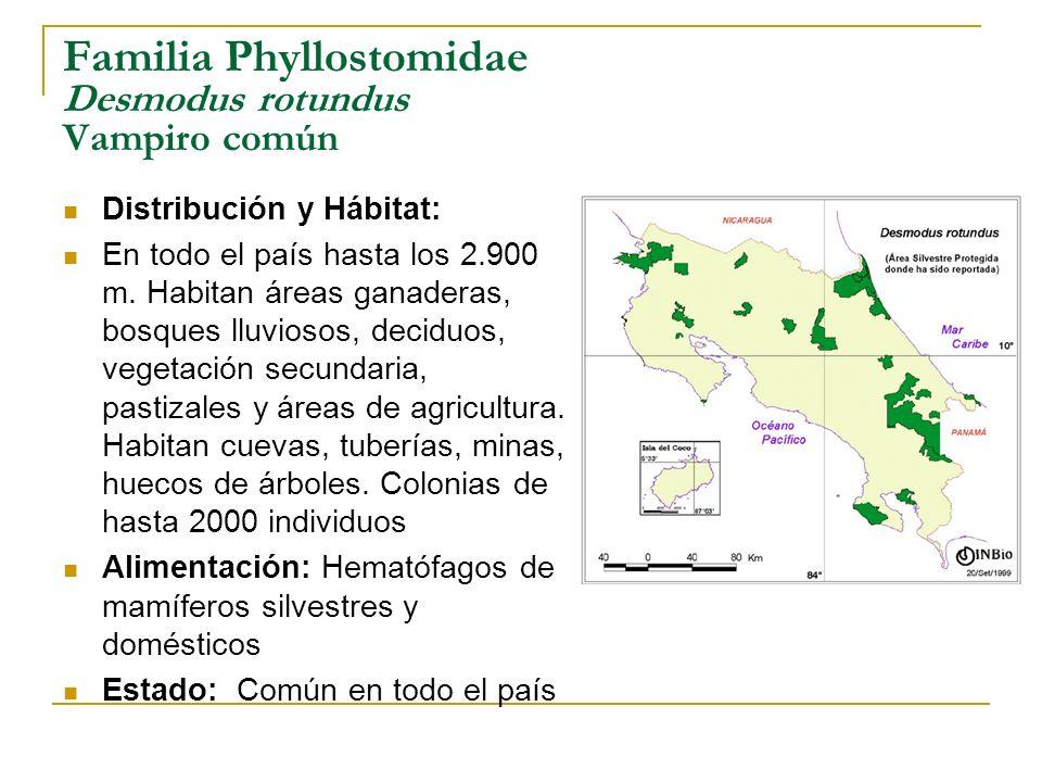 Familia Phyllostomidae Desmodus rotundus Vampiro común Distribución y Hábitat: En todo el país hasta los 2.900 m. Habitan áreas ganaderas, bosques llu