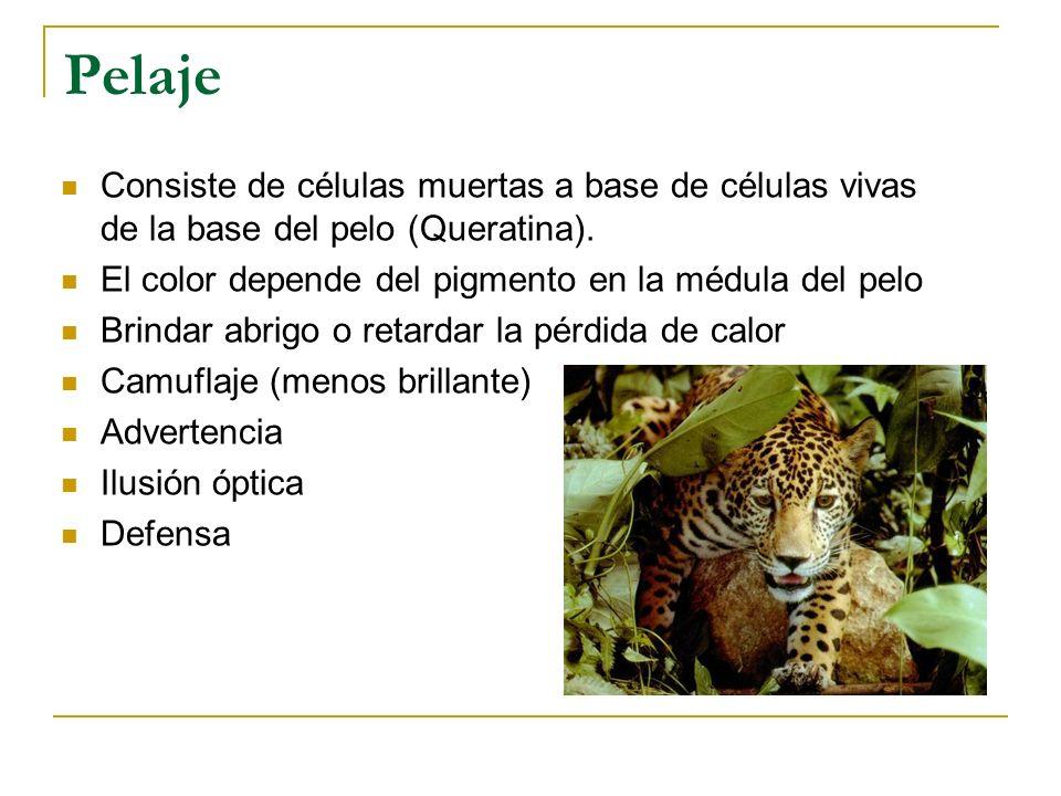 Orden Didelphimorphia Familia Didelphidae Las 8 especies de marsupiales presentes en Costa Rica proceden de Sur América.