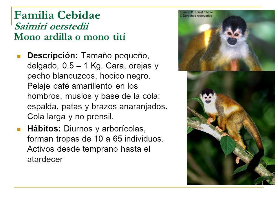 Familia Cebidae Saimiri oerstedii Mono ardilla o mono tití Descripción: Tamaño pequeño, delgado, 0.5 – 1 Kg. Cara, orejas y pecho blancuzcos, hocico n