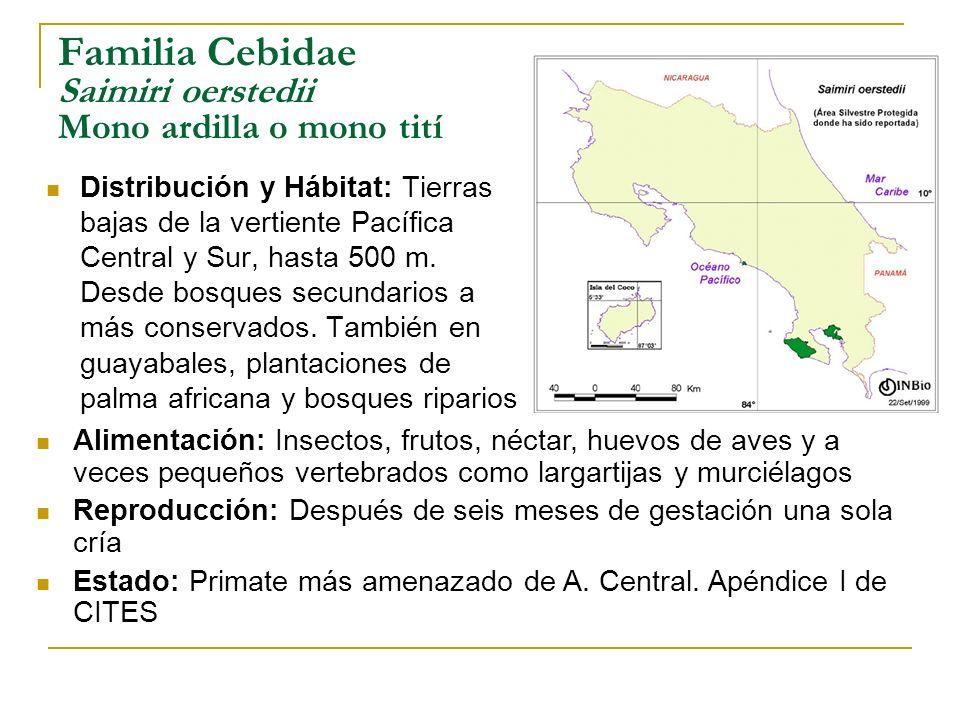 Familia Cebidae Saimiri oerstedii Mono ardilla o mono tití Distribución y Hábitat: Tierras bajas de la vertiente Pacífica Central y Sur, hasta 500 m.