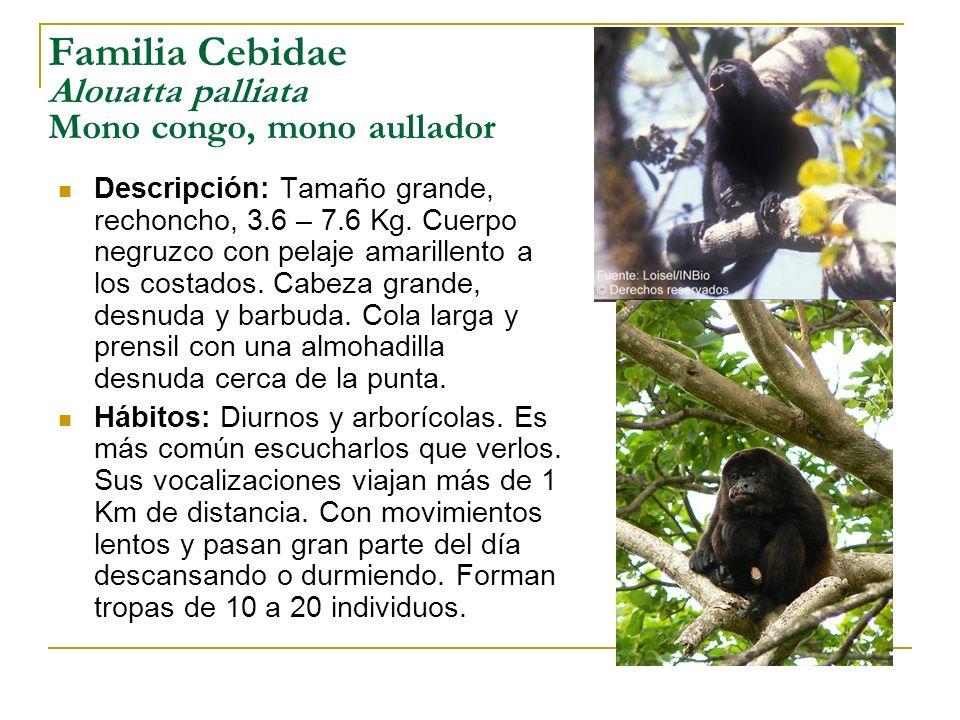 Familia Cebidae Alouatta palliata Mono congo, mono aullador Descripción: Tamaño grande, rechoncho, 3.6 – 7.6 Kg. Cuerpo negruzco con pelaje amarillent