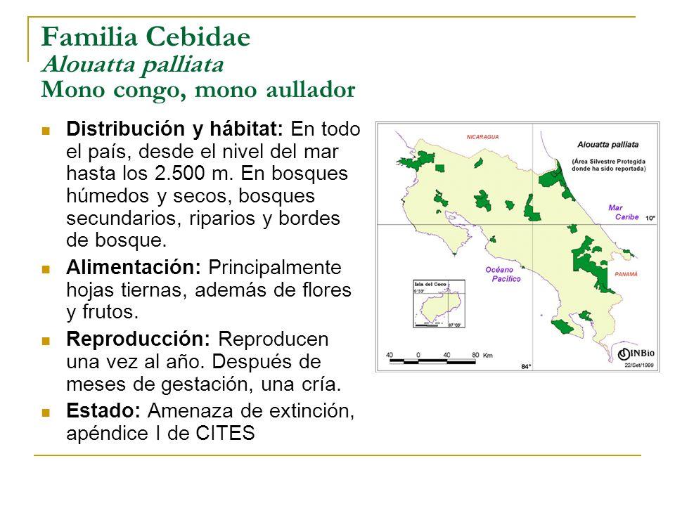 Familia Cebidae Alouatta palliata Mono congo, mono aullador Distribución y hábitat: En todo el país, desde el nivel del mar hasta los 2.500 m. En bosq