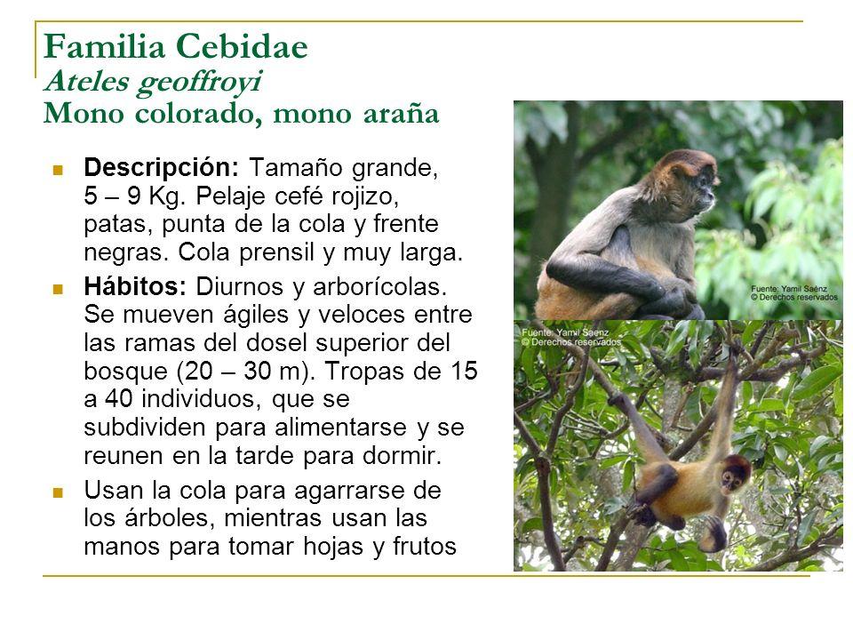 Familia Cebidae Ateles geoffroyi Mono colorado, mono araña Descripción: Tamaño grande, 5 – 9 Kg. Pelaje cefé rojizo, patas, punta de la cola y frente