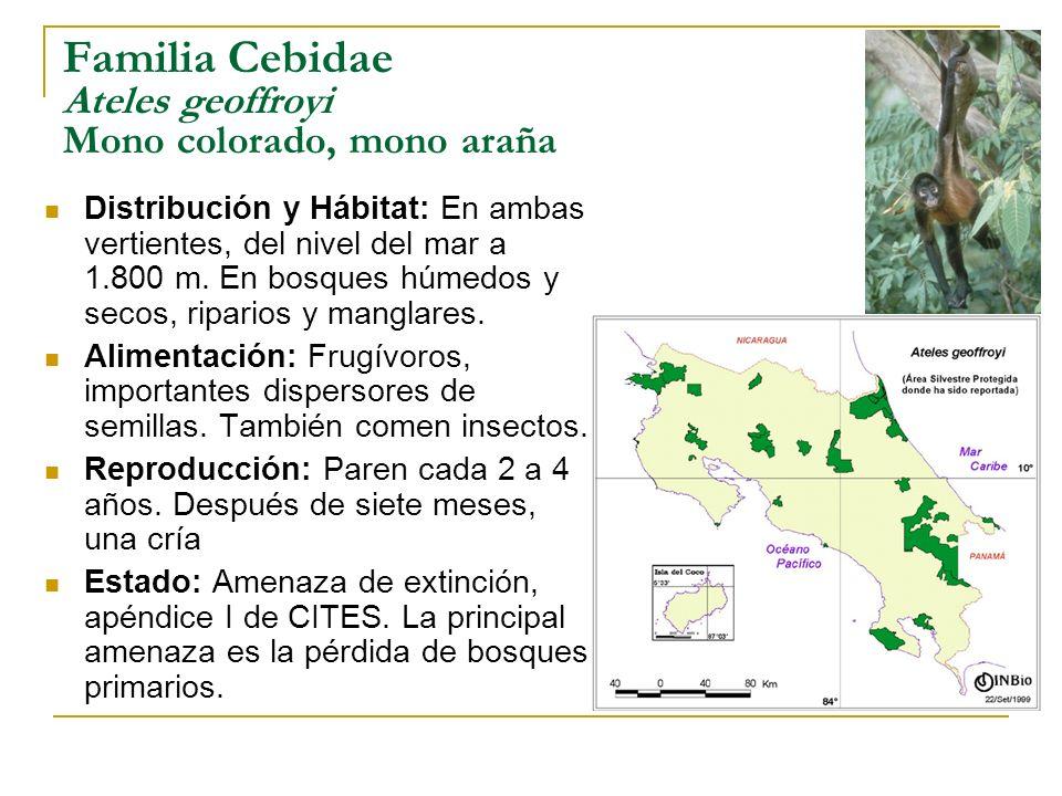 Familia Cebidae Ateles geoffroyi Mono colorado, mono araña Distribución y Hábitat: En ambas vertientes, del nivel del mar a 1.800 m. En bosques húmedo
