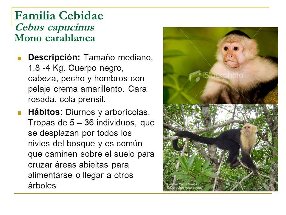 Familia Cebidae Cebus capucinus Mono carablanca Descripción: Tamaño mediano, 1.8 -4 Kg. Cuerpo negro, cabeza, pecho y hombros con pelaje crema amarill