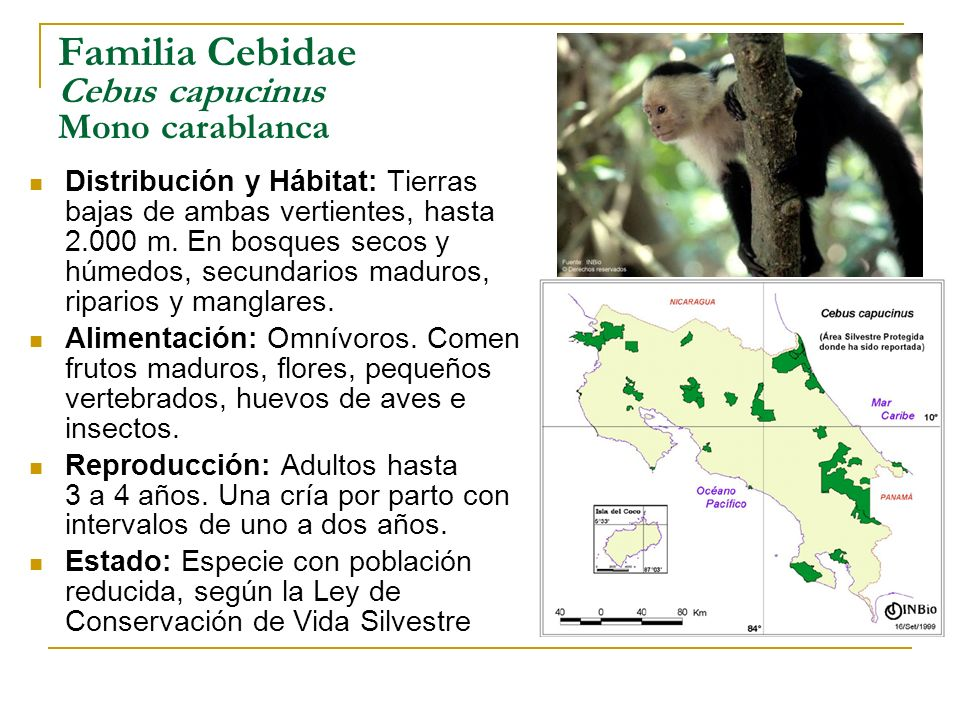 Familia Cebidae Cebus capucinus Mono carablanca Distribución y Hábitat: Tierras bajas de ambas vertientes, hasta 2.000 m. En bosques secos y húmedos,