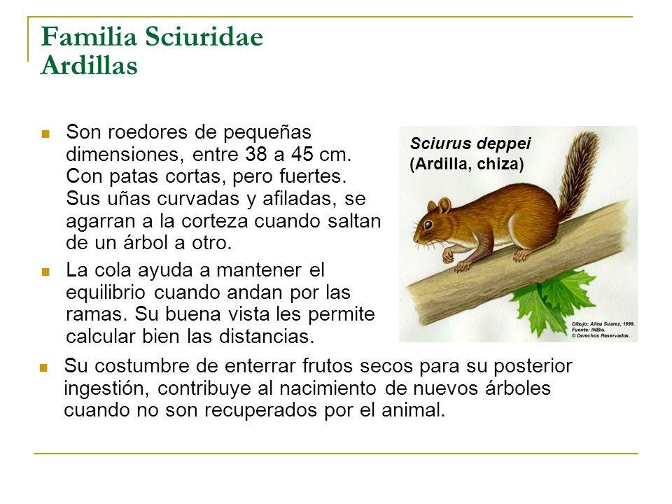 Familia Sciuridae Ardillas Son roedores de pequeñas dimensiones, entre 38 a 45 cm. Con patas cortas, pero fuertes. Sus uñas curvadas y afiladas, se ag