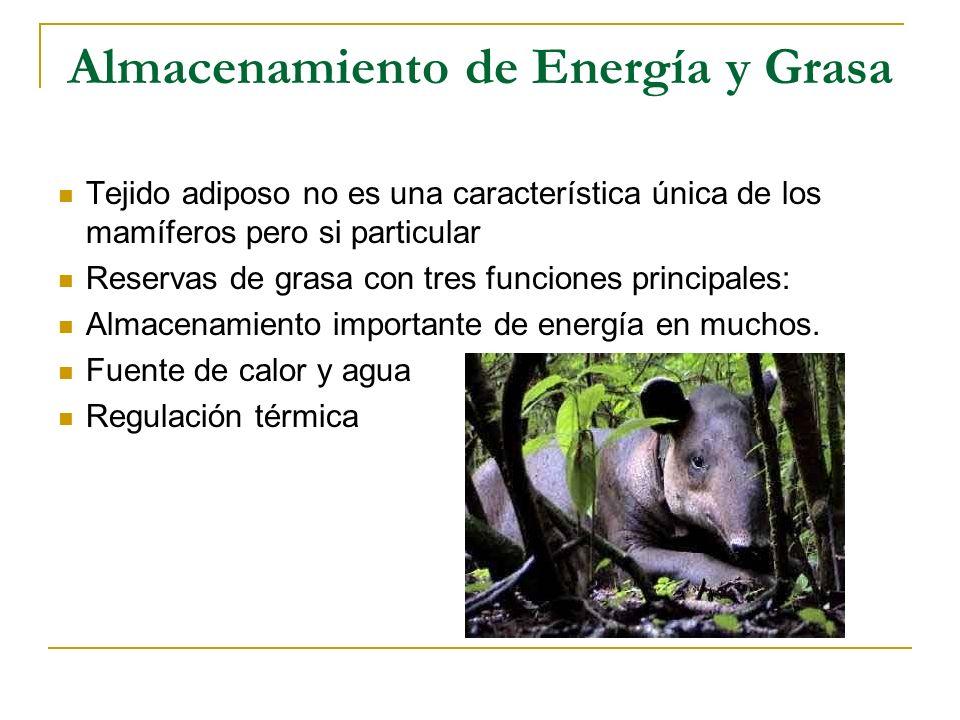 Almacenamiento de Energía y Grasa Tejido adiposo no es una característica única de los mamíferos pero si particular Reservas de grasa con tres funcion