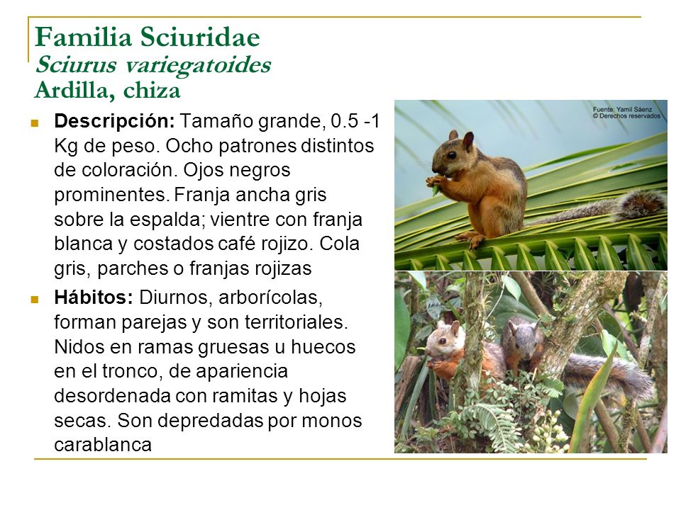 Familia Sciuridae Sciurus variegatoides Ardilla, chiza Descripción: Tamaño grande, 0.5 -1 Kg de peso. Ocho patrones distintos de coloración. Ojos negr