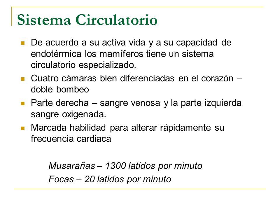 Sistema Circulatorio De acuerdo a su activa vida y a su capacidad de endotérmica los mamíferos tiene un sistema circulatorio especializado. Cuatro cám