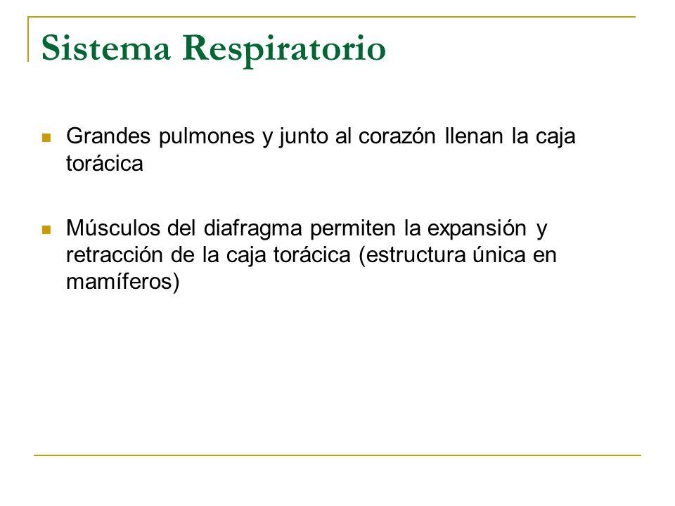 Sistema Respiratorio Grandes pulmones y junto al corazón llenan la caja torácica Músculos del diafragma permiten la expansión y retracción de la caja