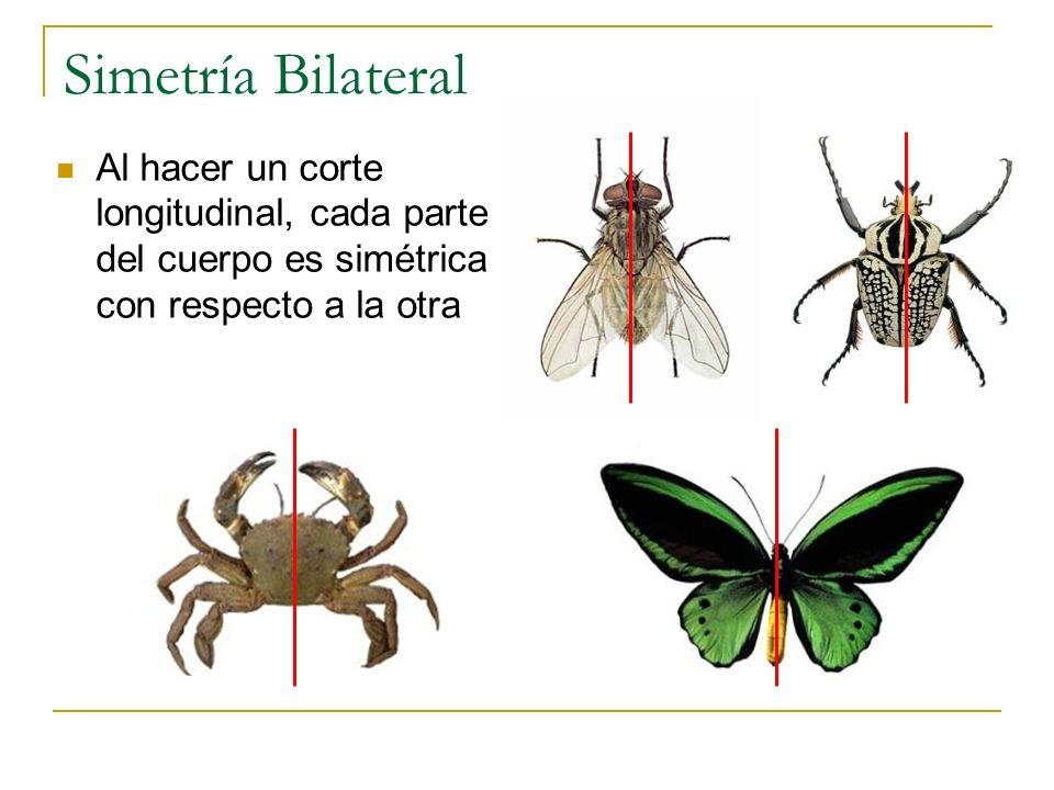 Simetría Bilateral Al hacer un corte longitudinal, cada parte del cuerpo es simétrica con respecto a la otra