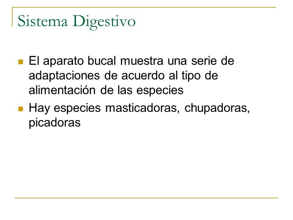 Sistema Digestivo El aparato bucal muestra una serie de adaptaciones de acuerdo al tipo de alimentación de las especies Hay especies masticadoras, chu