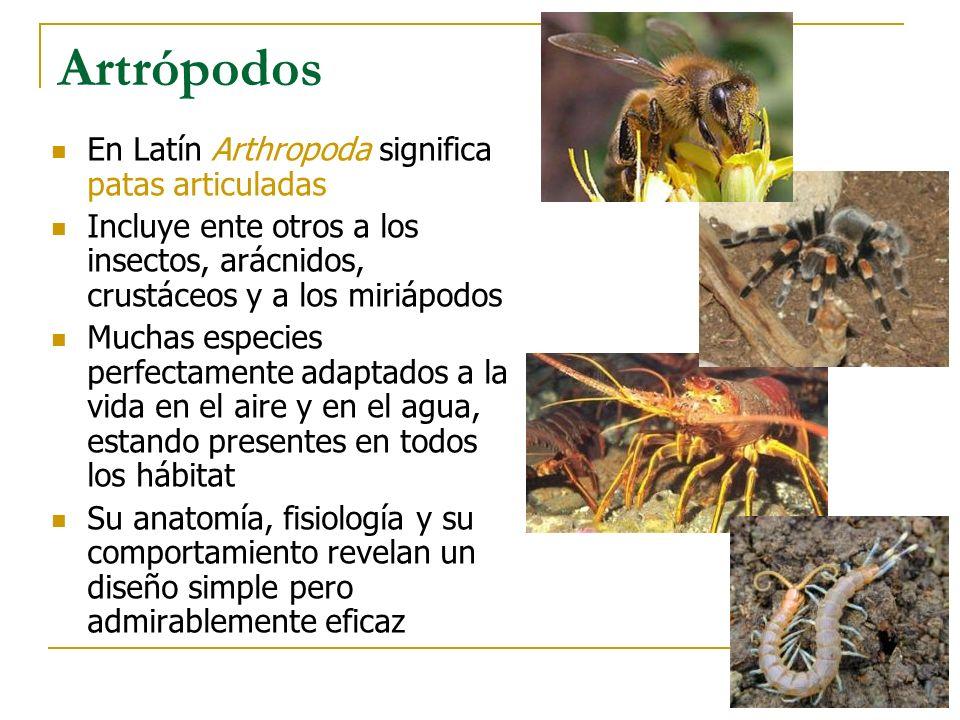 Artrópodos En Latín Arthropoda significa patas articuladas Incluye ente otros a los insectos, arácnidos, crustáceos y a los miriápodos Muchas especies