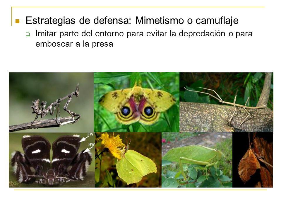 Estrategias de defensa: Mimetismo o camuflaje Imitar parte del entorno para evitar la depredación o para emboscar a la presa