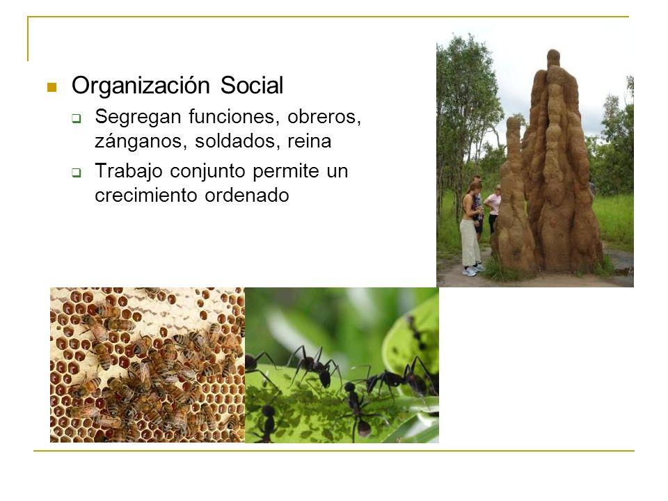 Organización Social Segregan funciones, obreros, zánganos, soldados, reina Trabajo conjunto permite un crecimiento ordenado