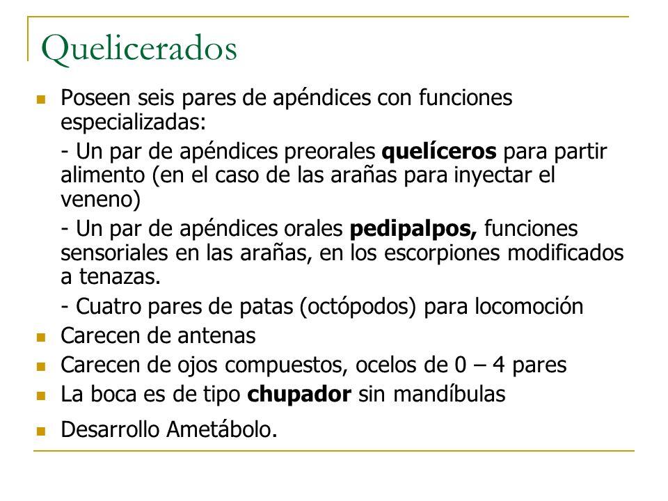 Quelicerados Poseen seis pares de apéndices con funciones especializadas: - Un par de apéndices preorales quelíceros para partir alimento (en el caso