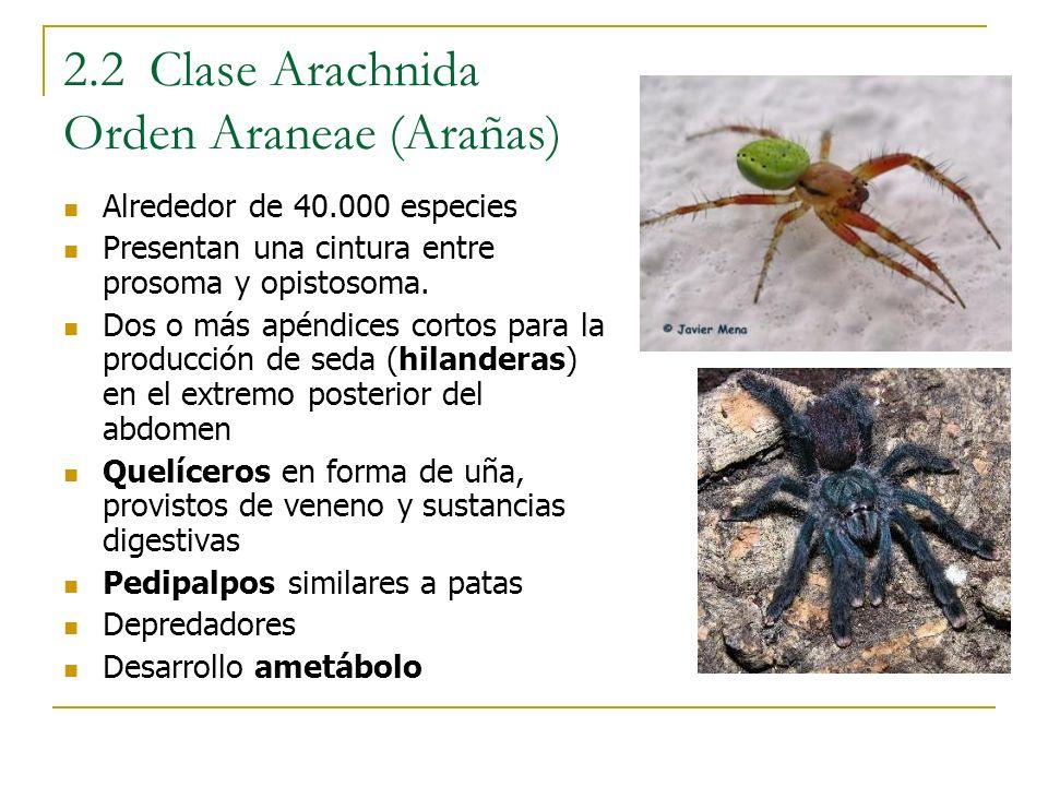 2.2 Clase Arachnida Orden Araneae (Arañas) Alrededor de 40.000 especies Presentan una cintura entre prosoma y opistosoma. Dos o más apéndices cortos p