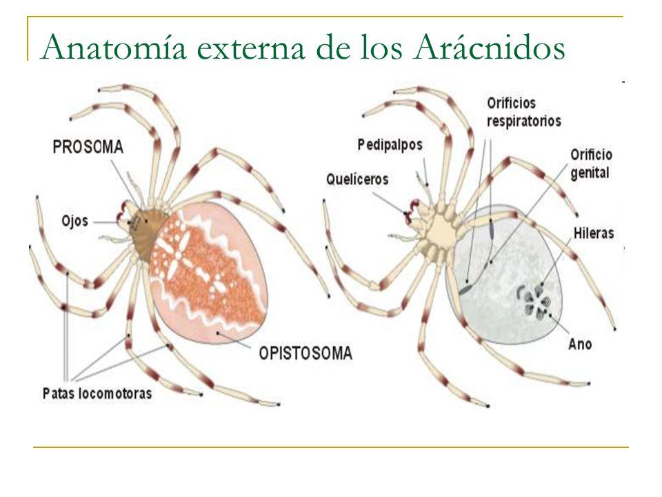 Anatomía externa de los Arácnidos