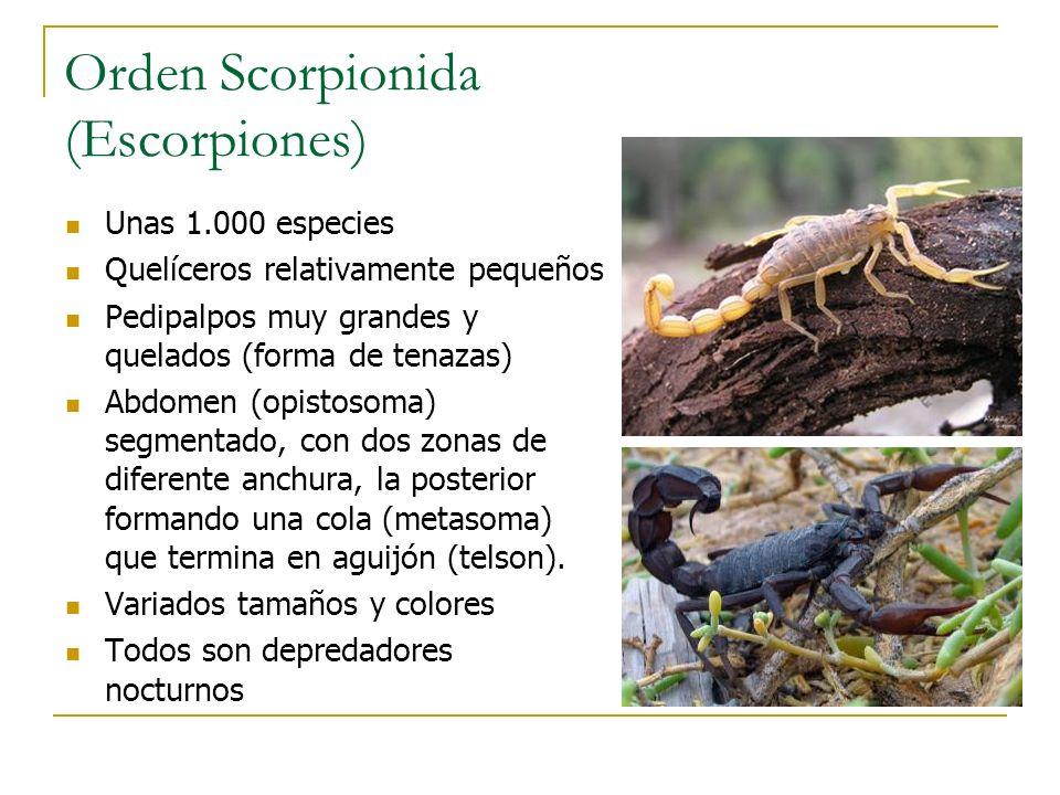 Orden Scorpionida (Escorpiones) Unas 1.000 especies Quelíceros relativamente pequeños Pedipalpos muy grandes y quelados (forma de tenazas) Abdomen (op