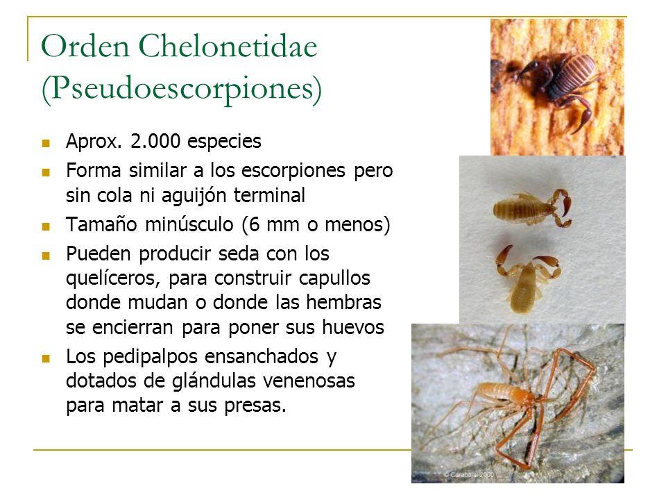 Orden Chelonetidae (Pseudoescorpiones) Aprox. 2.000 especies Forma similar a los escorpiones pero sin cola ni aguijón terminal Tamaño minúsculo (6 mm