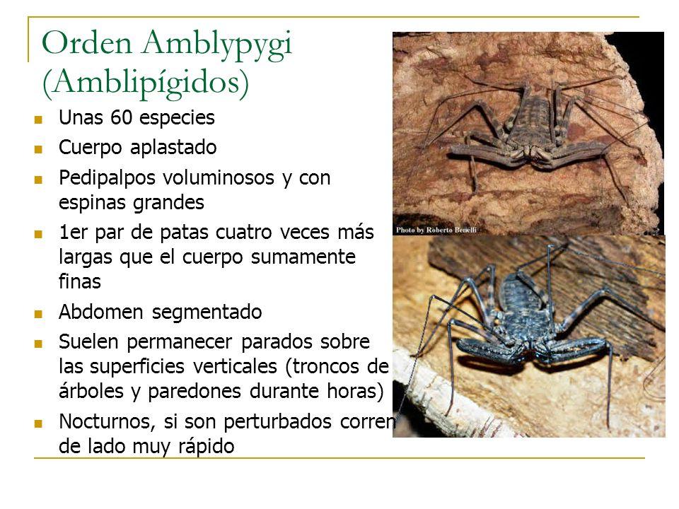 Orden Amblypygi (Amblipígidos) Unas 60 especies Cuerpo aplastado Pedipalpos voluminosos y con espinas grandes 1er par de patas cuatro veces más largas