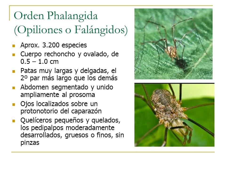 Orden Phalangida (Opiliones o Falángidos) Aprox. 3.200 especies Cuerpo rechoncho y ovalado, de 0.5 – 1.0 cm Patas muy largas y delgadas, el 2º par más
