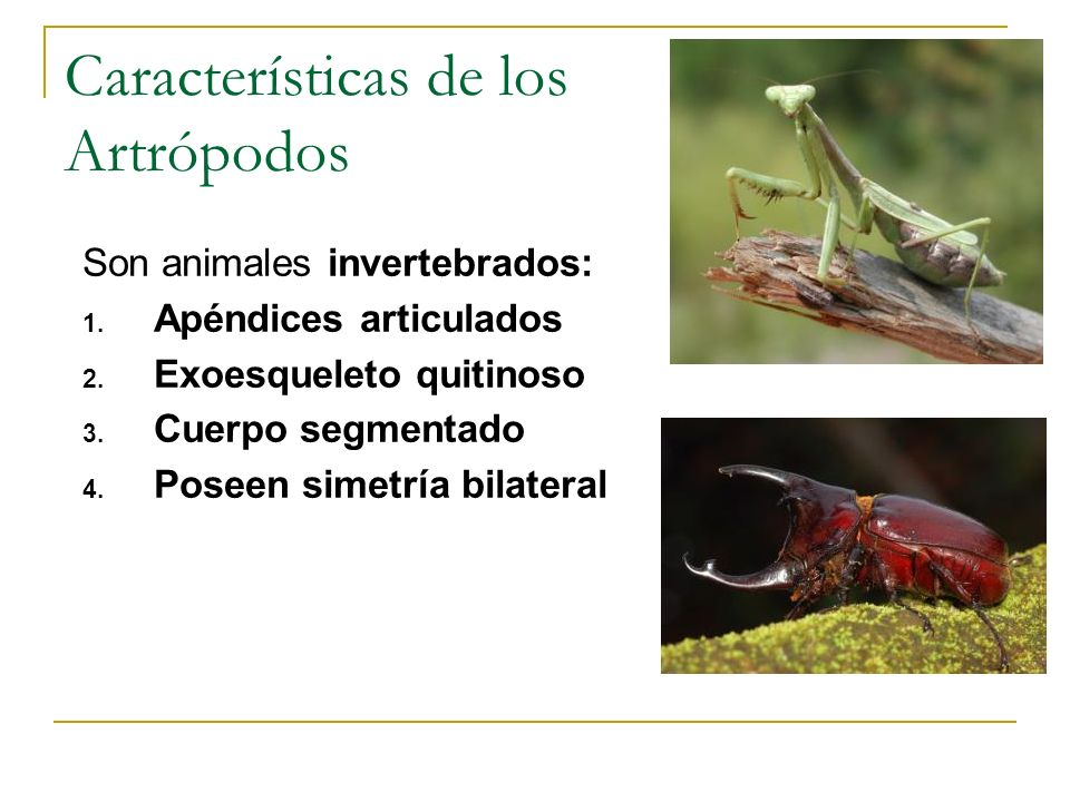 Características de los Artrópodos Son animales invertebrados: 1. Apéndices articulados 2. Exoesqueleto quitinoso 3. Cuerpo segmentado 4. Poseen simetr
