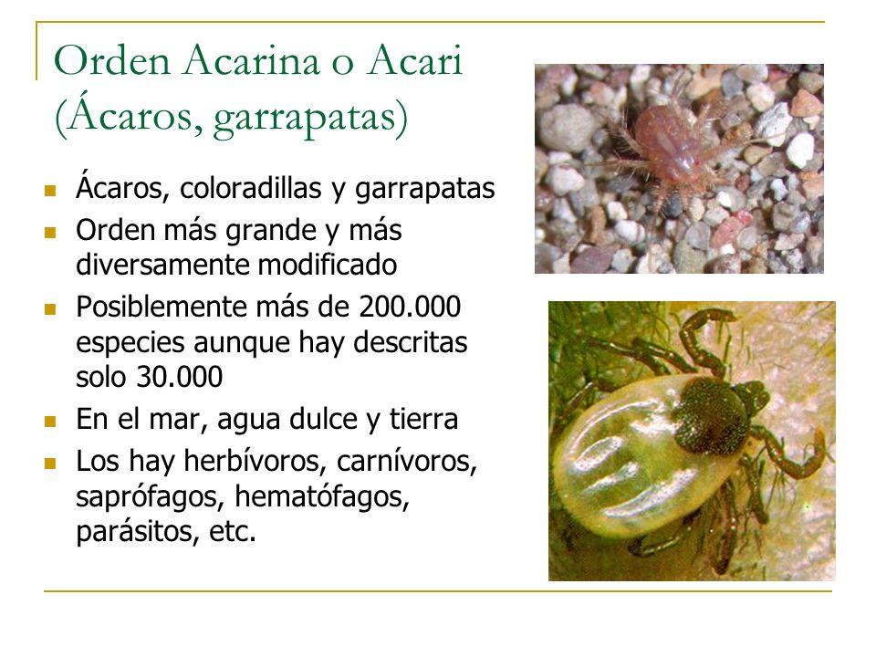 Orden Acarina o Acari (Ácaros, garrapatas) Ácaros, coloradillas y garrapatas Orden más grande y más diversamente modificado Posiblemente más de 200.00