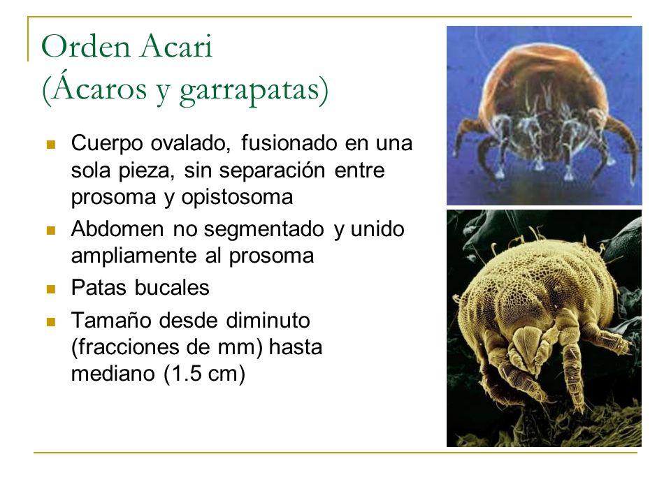 Orden Acari (Ácaros y garrapatas) Cuerpo ovalado, fusionado en una sola pieza, sin separación entre prosoma y opistosoma Abdomen no segmentado y unido
