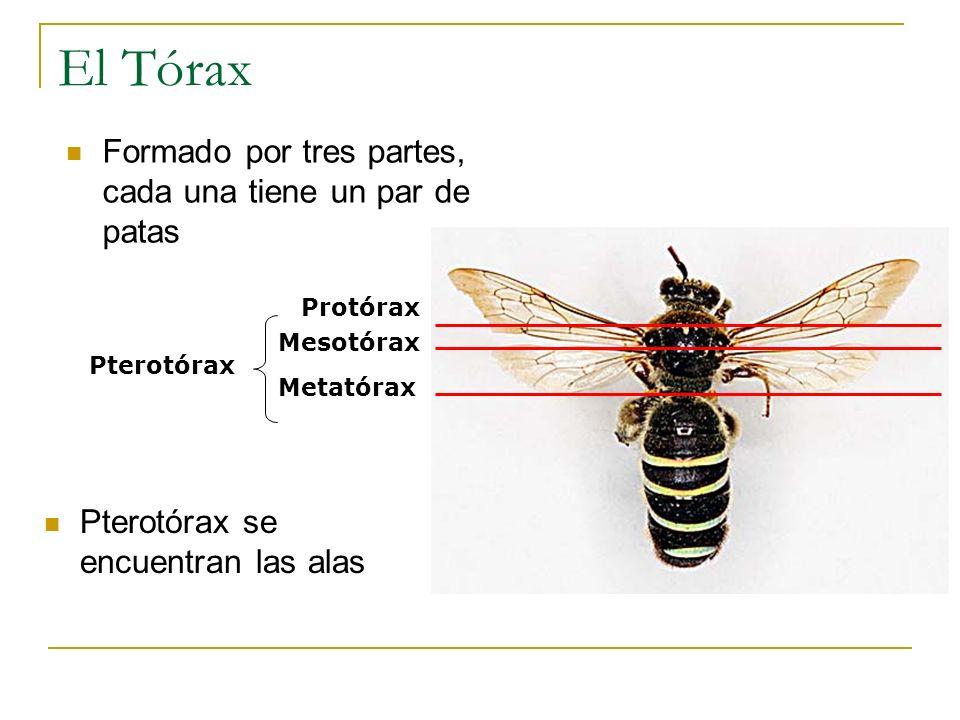 El Tórax Formado por tres partes, cada una tiene un par de patas Pterotórax se encuentran las alas Protórax Mesotórax Metatórax Pterotórax