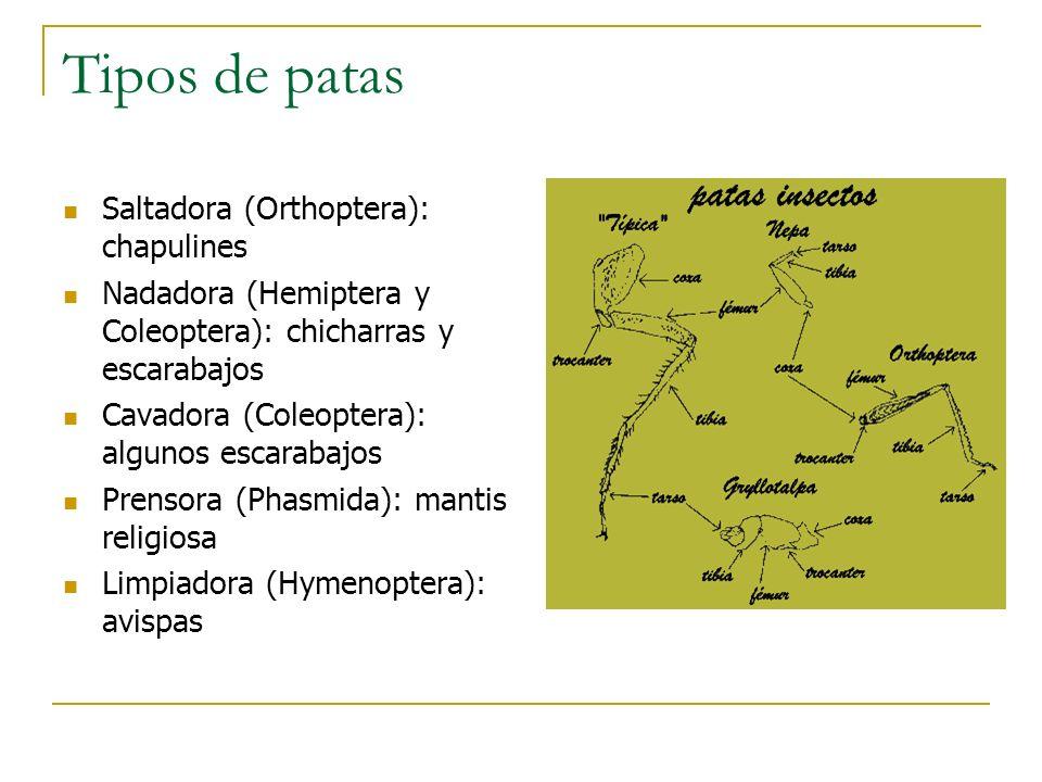 Tipos de patas Saltadora (Orthoptera): chapulines Nadadora (Hemiptera y Coleoptera): chicharras y escarabajos Cavadora (Coleoptera): algunos escarabaj