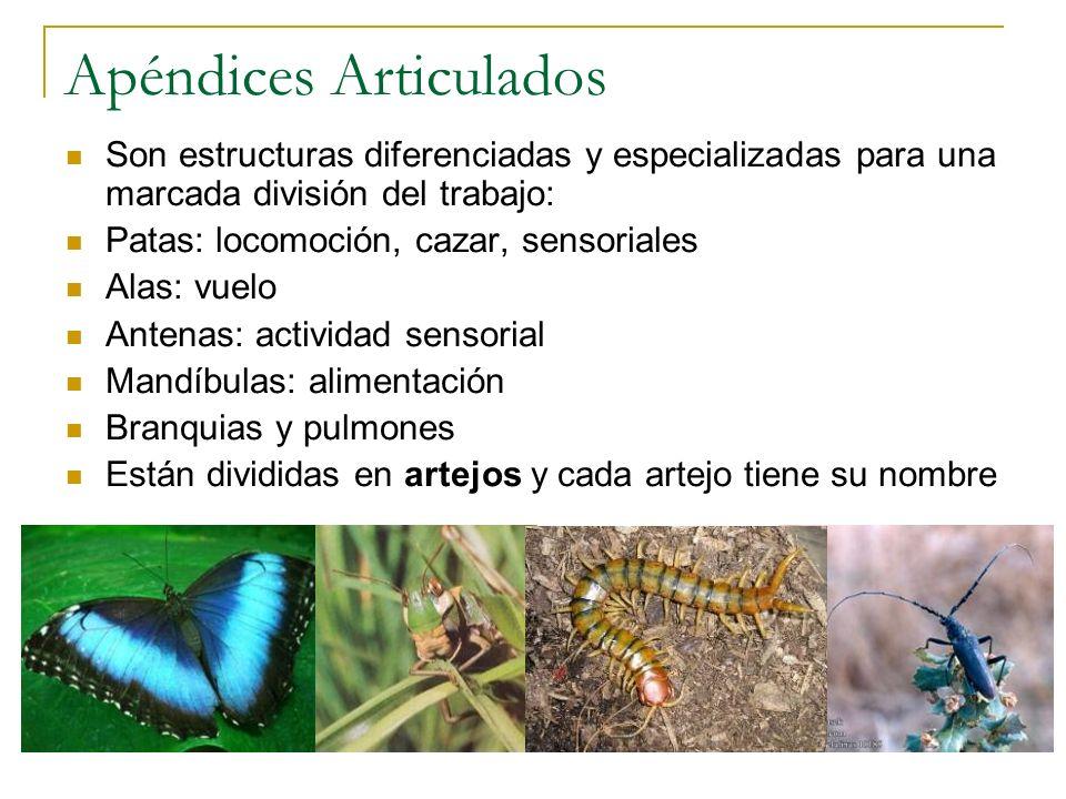 Orden Odonata 1.Aparato bucal cortador – masticador 2.