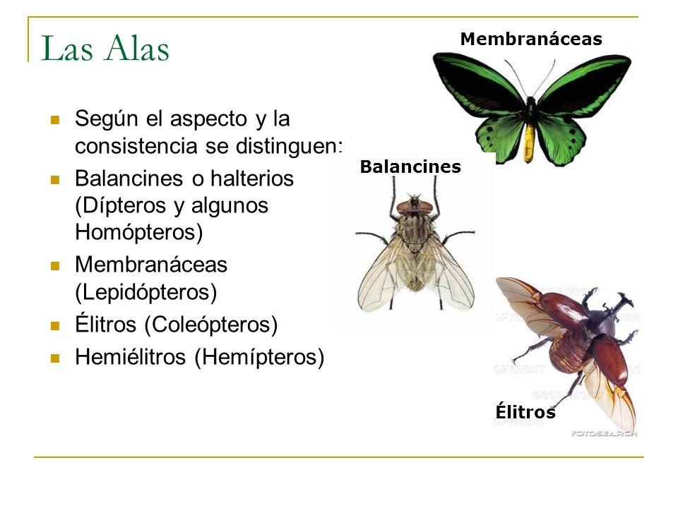 Élitros Membranáceas Las Alas Según el aspecto y la consistencia se distinguen: Balancines o halterios (Dípteros y algunos Homópteros) Membranáceas (L